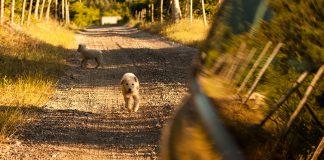 köpekler-kovalamaca